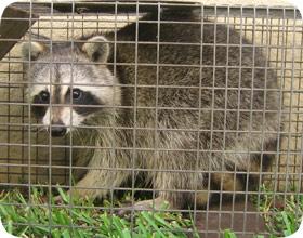 Pest Control Chicago Animal Control Critter Rat Raccoon