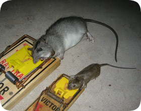 Chicago Mouse Amp Rodent Control Pest Removal